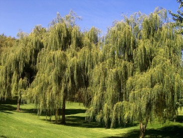 Willow onlineplantguide