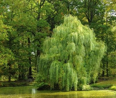 Willow pxhere